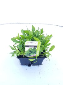 Evandale Vege 6 pack Spinach Perpetual