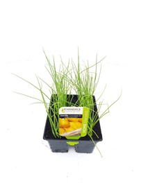 Evandale Vege 6 pack Onion Canterbury Long Keeper