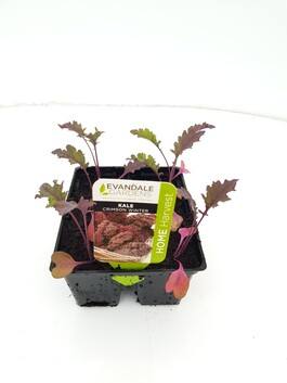 Evandale Vege 6 pack Kale Crimson Winter